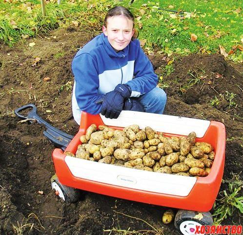 Какой сорт картошки выбрать