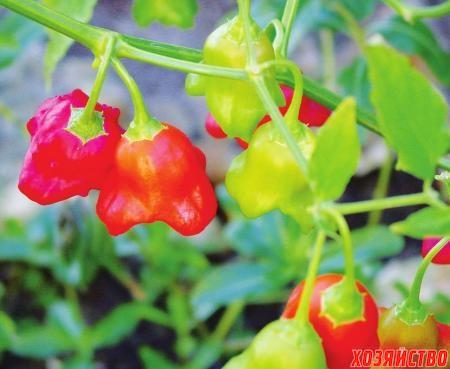 Острый перец легко размножается семенами и черенками
