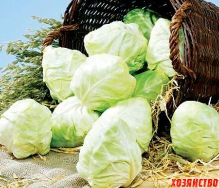 Среднеспелые сорта могут долго храниться и годятся для засолки