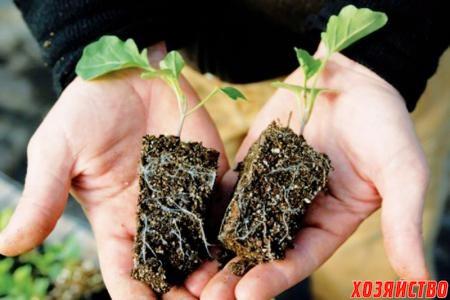 Рассаду капусты лучше выращивать в отдельных стаканчиках