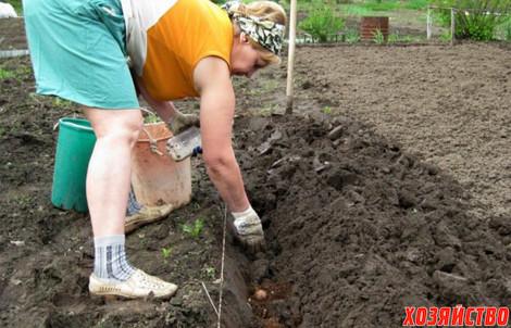 Огород когда сажать картофель 7