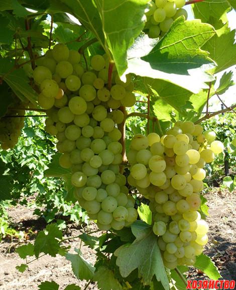 Виноград гуна описание сорта фото