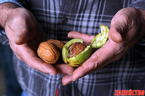 Сколько растет грецкий орех
