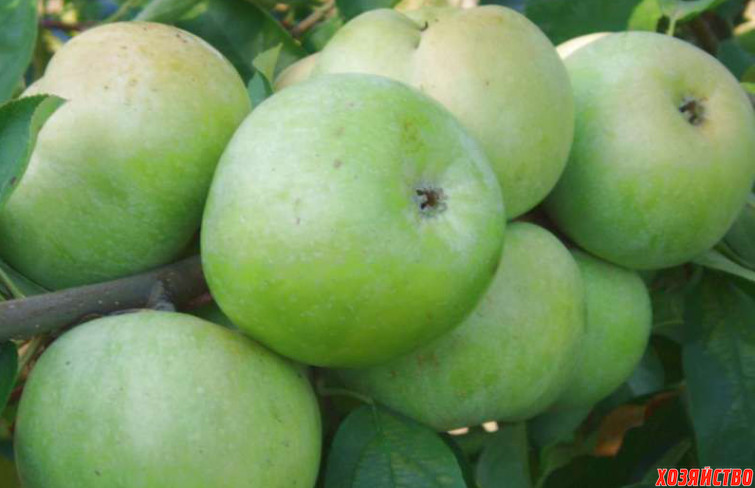 осенние сорта яблок с фото