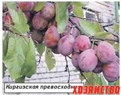 киргизская превосходная слива фото