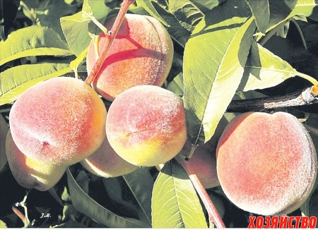 persiky.jpg