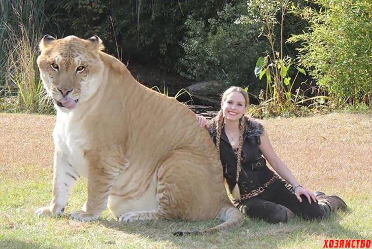 ligr-_-lev-_-samka-tigra_.jpg
