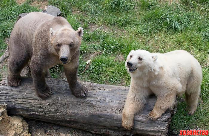 grolar-medved-_polyarnyy-medved-_-buryy-medved_.jpg