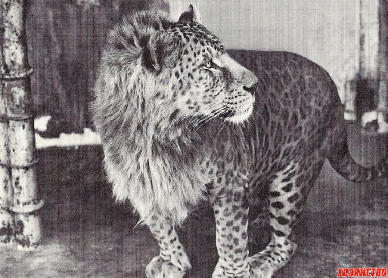 leopon-_leopard-samets-_-samka-lva_.jpg