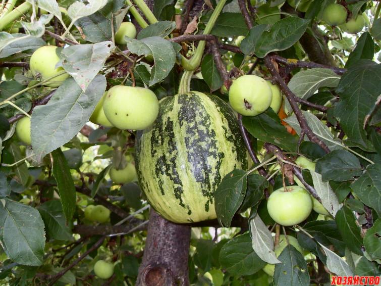 kabachok-arbuz-na-yablone.jpg