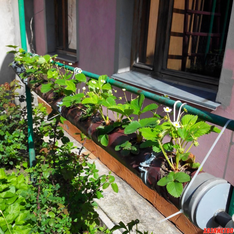 Я выращиваю клубнику папанов