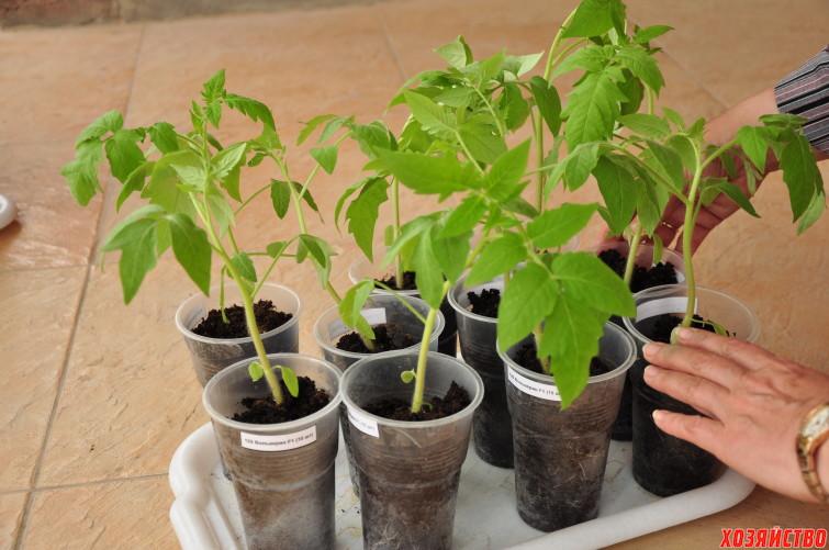 1.-6-maya.-nash-ekspert_ogorodnik-nadezhda-loktionova-s-tomatami-sorta-samson-_2_.jpg