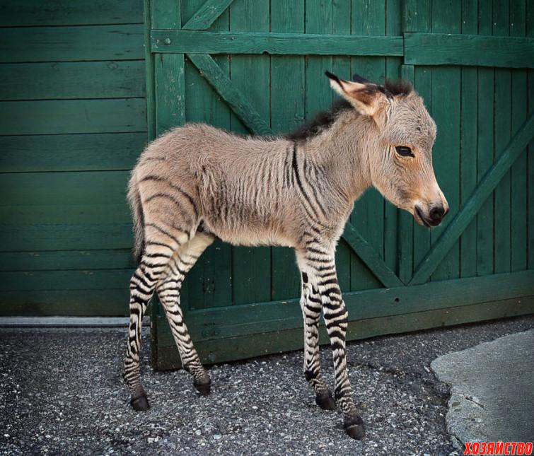 takim-obrazom_-obuv-_zebra-_-osel_.jpg