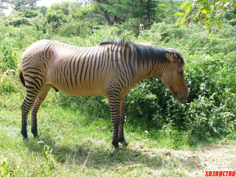 zebroid-_zebra-_-lyubye-drugie-loshadi_.jpg
