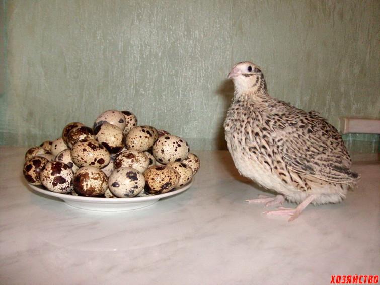 quail16.jpg