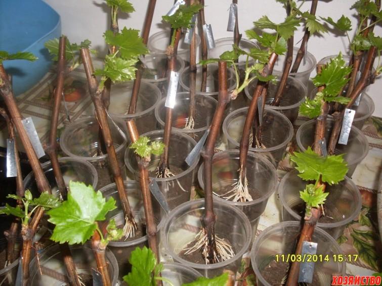 3.-ukornenennye-sazhentsy-vinograda-gotovy-k-posadke-v-stakanchiki.jpg