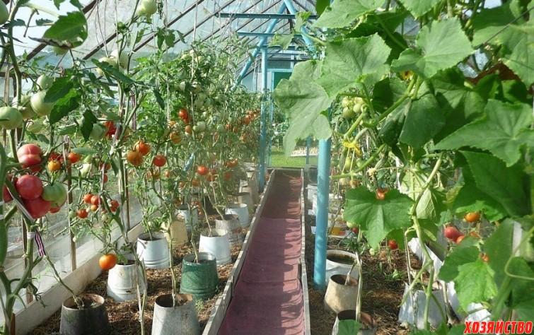 pomidory-v-vedrakh.jpeg