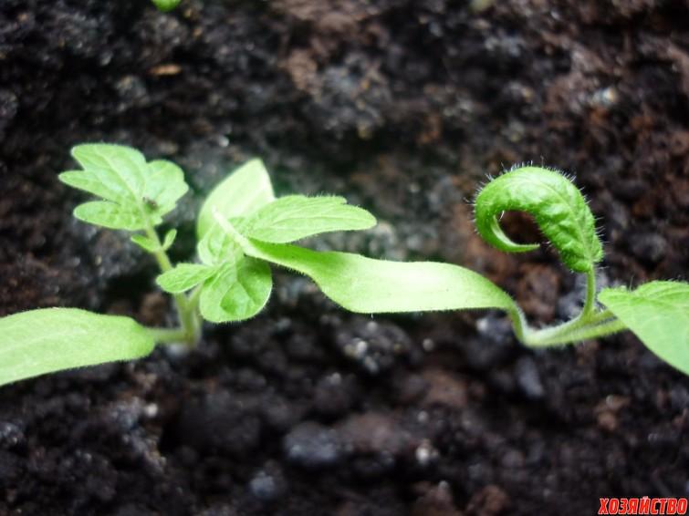 skruchivayutsya-listochki-u-rasady-pomidorov.jpg