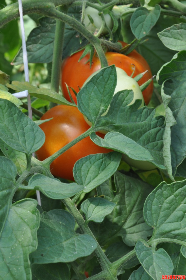pomidory-048.jpg