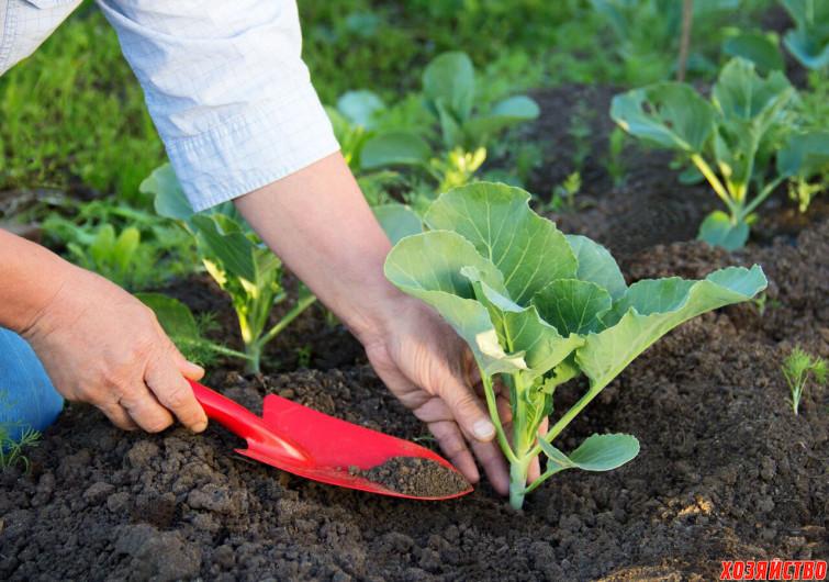 Сроки посадки капусты в открытый грунт0.jpg
