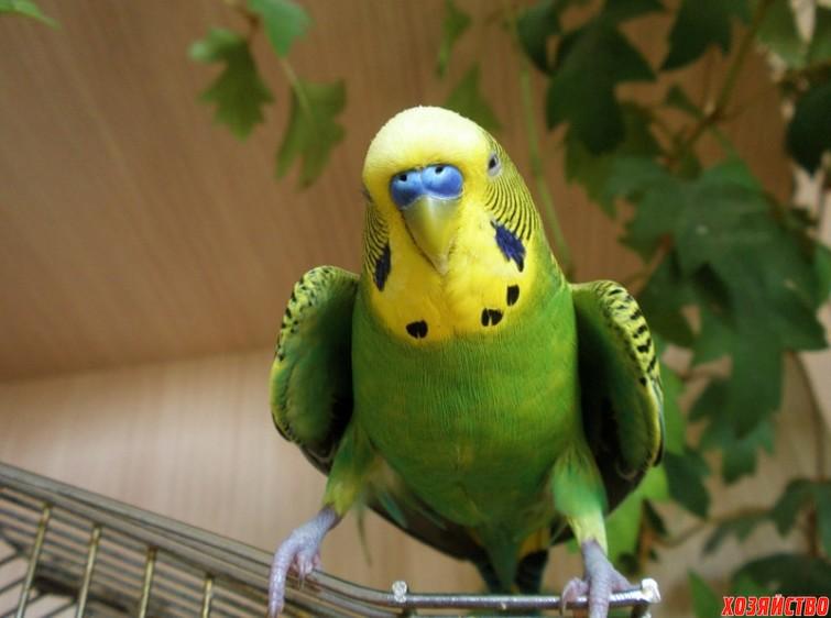 У попугая повисло крыло.jpeg