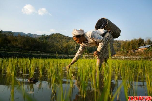 выращивают рис.jpeg