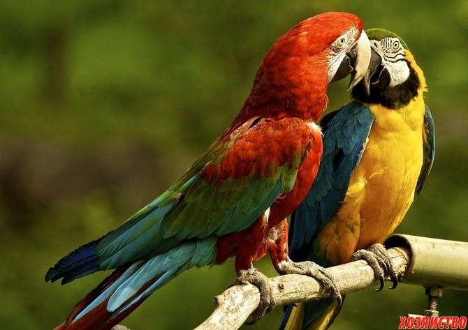 пара попугаев2.jpg