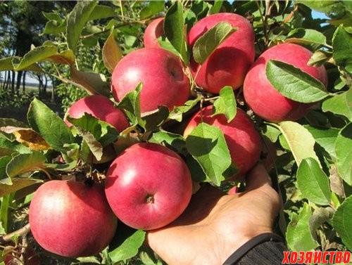 яблоки_500.jpg