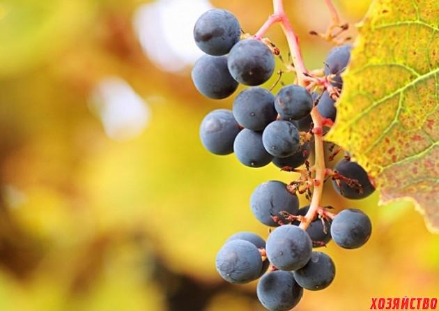амурском винограде.jpg