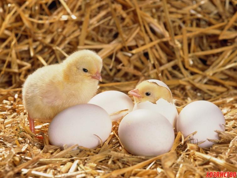 Совместная инкубация яиц птиц разных видов2.jpg