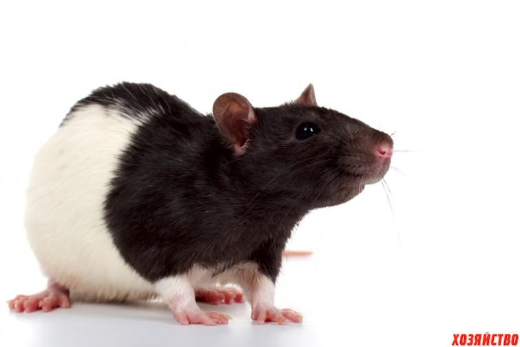 крыса.jpg
