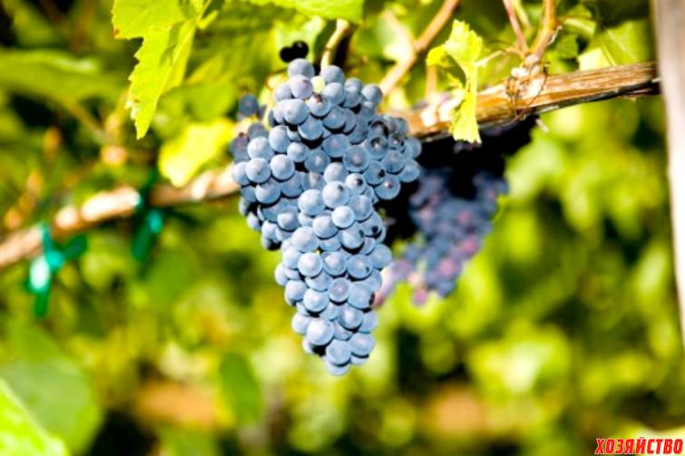 Vinograd-moldova-v-Krymu-_Fotor.jpg