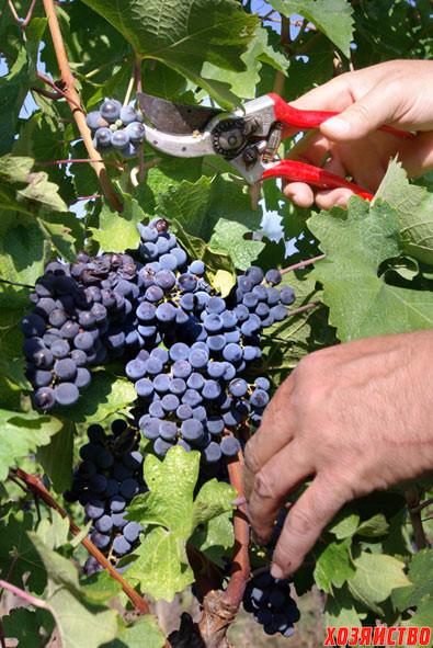 grape_harvest2.jpg
