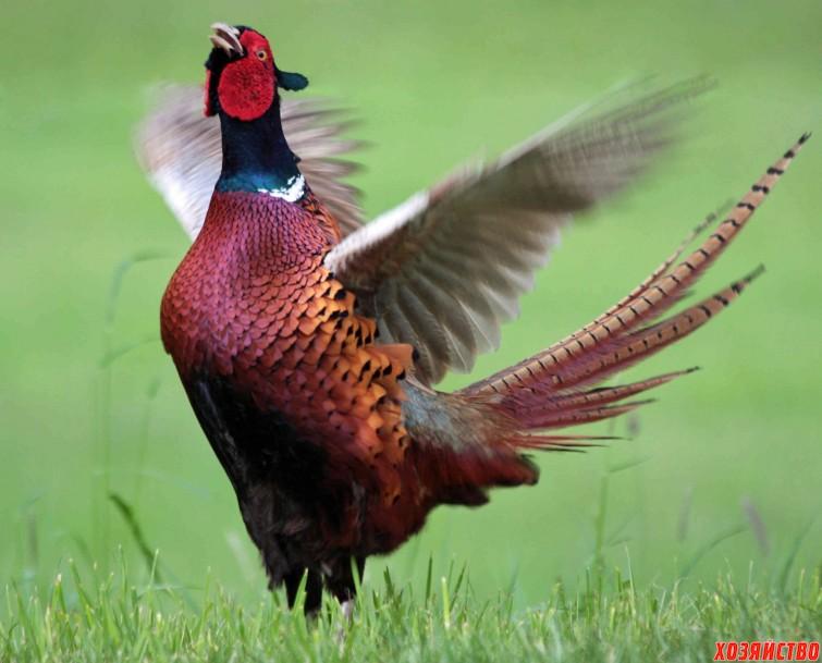 фазан.jpg