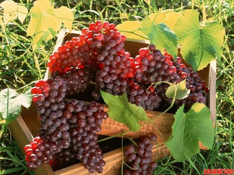 grapes_03.jpg