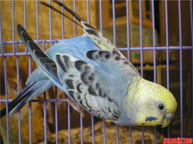 У попугая повисло крыло2.jpg