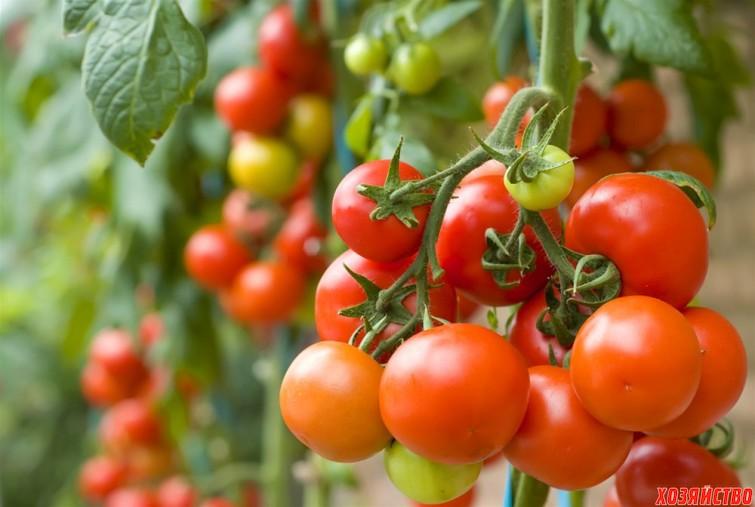 Сыворотка и йод спасают мои помидоры.jpg