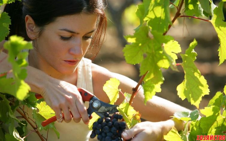 Нормирование винограда гроздями.jpg