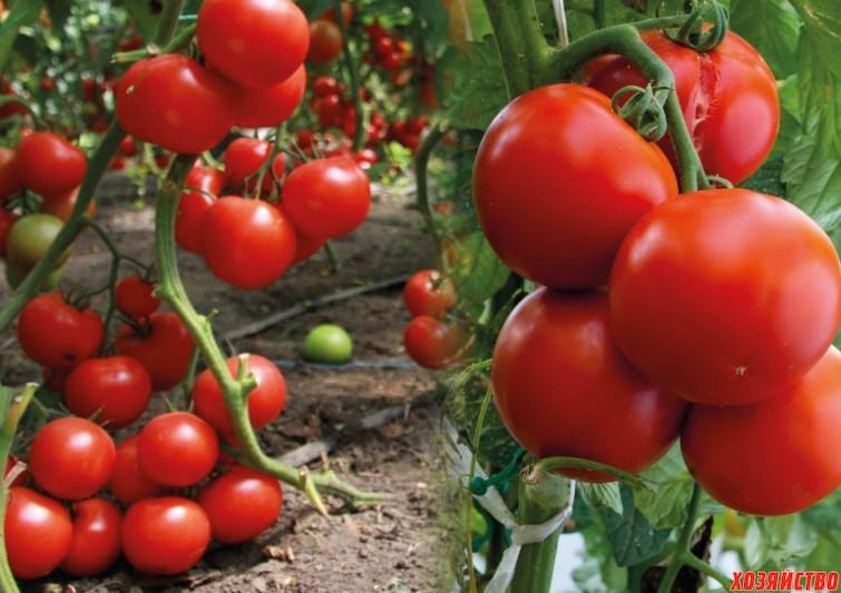 почему плохо завязывается помидоры.jpg