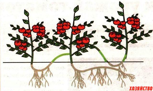 Царский урожай помидоров.jpg