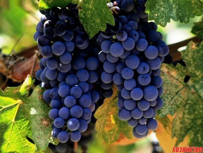 Luchshie_stolovye_sorta_vinograda-.jpg