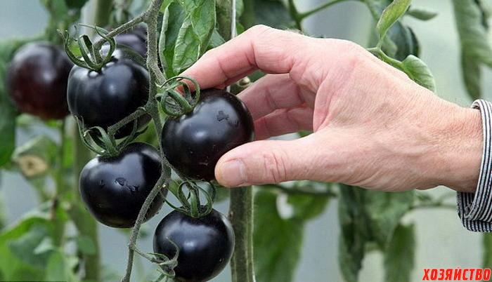 1391013020_fioletovye-pomidory-spasayut-ot-raka.jpg