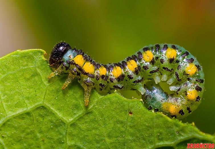 Три народных способа борьбы с гусеницами в своем саду.jpg