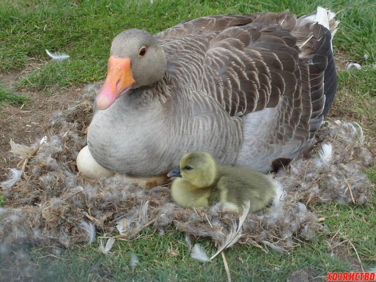 Советы по инкубации гусиных яиц.JPG