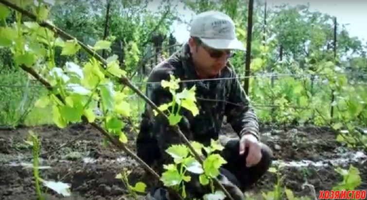 Выломка лишних побегов винограда.jpg