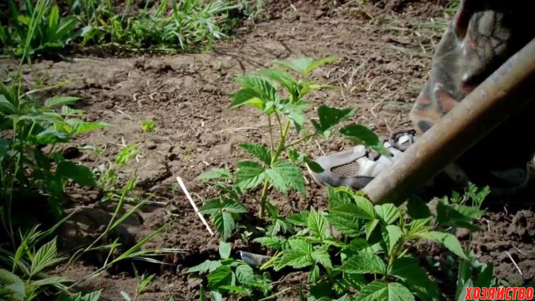 Как размножить малину крапивкой. ВИДЕО
