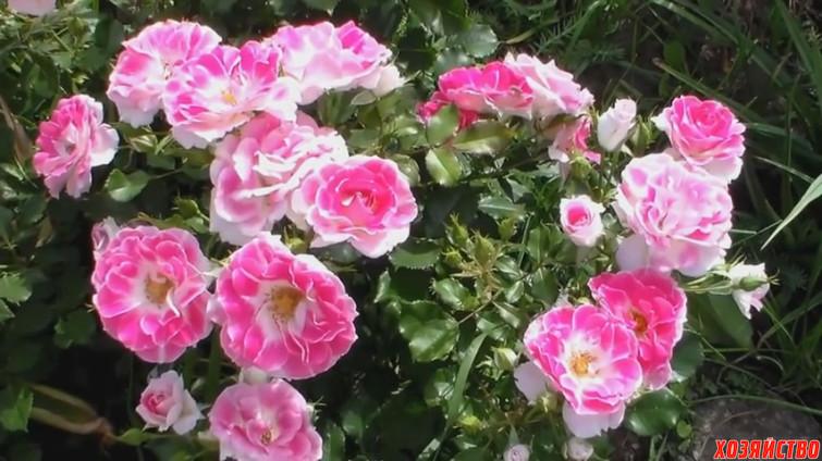 Тля на розах.jpg