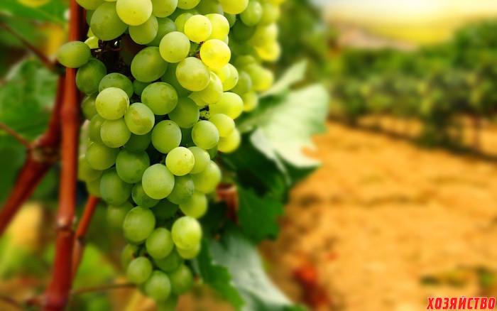 О чем говорит лист винограда02.jpg