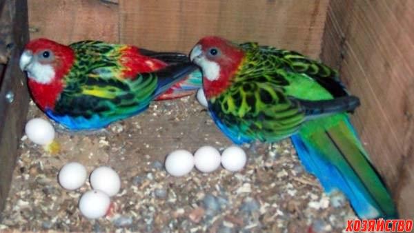 Fertile_Parrots_Eggs_and_Parrots_for_Sale.jpg