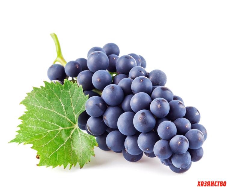 красивые фото винограда